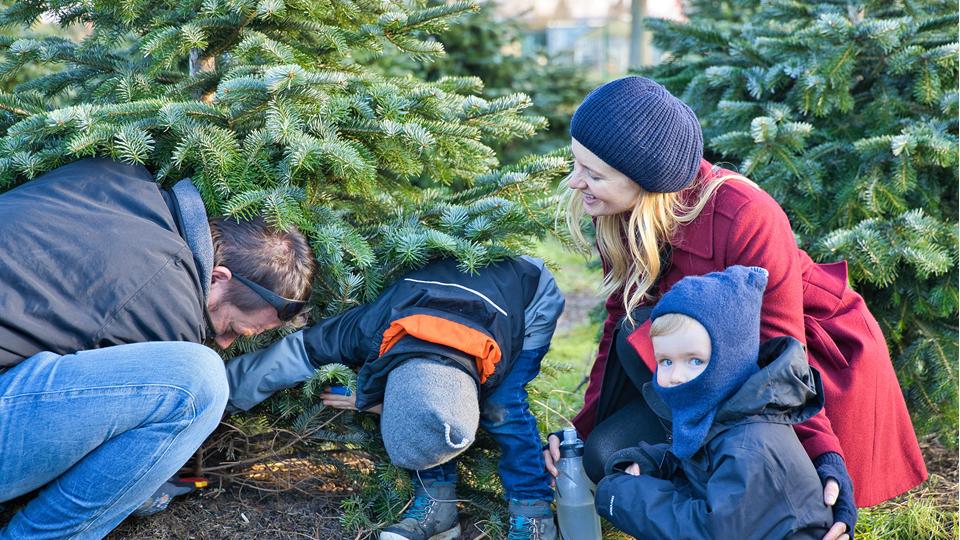 Weihnachtsbäume selber sägen…